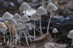 Грибы (disseminatus чернильного гриба) на пне Стоковая Фотография