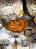 Грибы Lingzhi, завод lucidum Ganoderma Стоковое Изображение RF