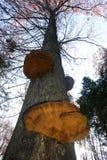Грибы Polypore на дереве Стоковые Фото