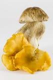 Грибы: porcini и лисички Стоковое фото RF