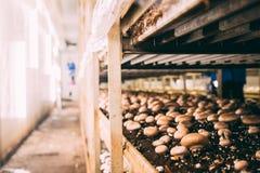 Грибы Portobello и фабрика champignons Стоковая Фотография RF