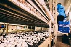 Грибы Portobello и фабрика champignons Стоковое Фото