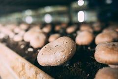 Грибы Portobello и фабрика champignons Стоковое фото RF