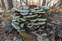 Грибы Trametes versicolor на стволе дерева Стоковое Изображение RF