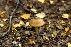 Гриб березы изолированная пущей белизна гриба Стоковое Фото