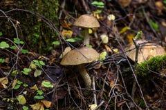 Гриб березы изолированная пущей белизна гриба Стоковые Фото