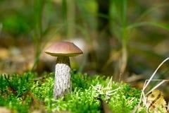 гриб березы Стоковая Фотография RF