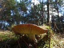 Гриб в лесах Стоковые Фотографии RF