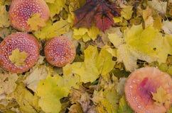 Гриб, в желтых листьях осени Стоковые Фотографии RF