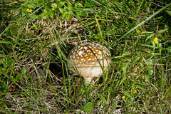 Гриб в траве Стоковая Фотография