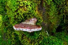 Гриб грибка кронштейна Брайна древообразный растя на дереве с зеленым m Стоковое Изображение
