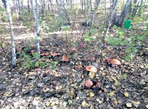 Гриб, лес, осень, пластинчатый гриб мухы, природа, деревья, трава стоковое изображение rf