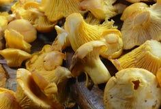 Гриб лисички на деревенском деревянном столе Сырцовая свежая предпосылка гриба лисички Стоковое Изображение RF
