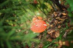 Гриб мухомора мухы в свете осени в лесе в падении Стоковое Фото