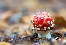 Гриб мухомора ядовитый в природе Стоковые Фото