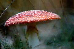 гриб мухы крупного плана agaric Стоковое Фото