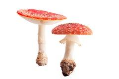 гриб мухы падения осени изолированный грибком ядовитый Стоковая Фотография