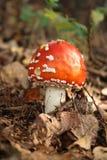 гриб мухы agaric Стоковое фото RF