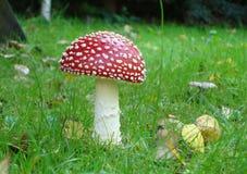 гриб мухы agaric Стоковые Фотографии RF