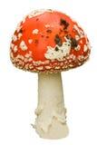 гриб мухы agaric Стоковые Изображения