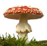 гриб мухы amanita agaric Стоковые Изображения