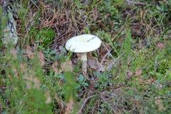 гриб мухы eps agaric 8 над белизной вектора Ядовитый гриб Стоковое Изображение RF