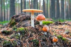 гриб мухы eps agaric 8 над белизной вектора Ядовитый гриб Стоковая Фотография
