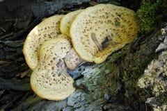 Гриб на дереве Стоковая Фотография RF