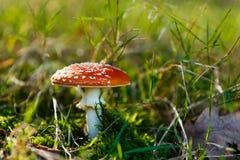 Гриб обыкновенно известный как пластинчатый гриб мухы или мухомор мухы Стоковое Фото