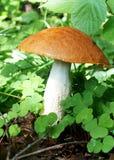 гриб осины стоковые изображения rf