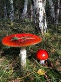 Гриб пластинчатого гриба мухы в лесе березы Стоковое Фото