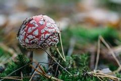 Гриб пластинчатого гриба мухы или мухомора мухы, селективный фокус с космосом экземпляра Стоковое Фото