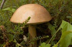 гриб подосиновика грубый Стоковые Изображения