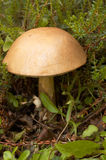 гриб подосиновика грубый Стоковое Изображение RF