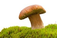гриб подосиновика Стоковые Изображения