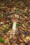 Гриб подосиновика edulis с голубикой в древесине стоковые изображения