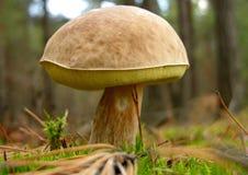 гриб подосиновика edulis Стоковые Изображения