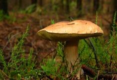 гриб подосиновика edulis Стоковые Изображения RF