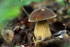гриб подосиновика Стоковая Фотография