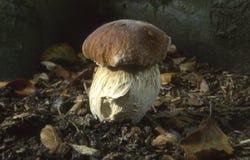 гриб подосиновика edulis стоковое фото