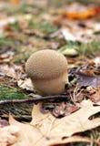 гриб пущи осени Стоковая Фотография