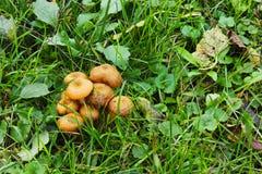 Гриб пластинчатого гриба меда Стоковые Фотографии RF