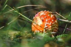 Гриб пластинчатого гриба мухы в лесе Стоковая Фотография RF