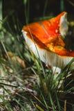 Гриб пластинчатого гриба мухы в лесе Стоковые Фотографии RF
