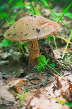Гриб пластинчатого гриба мухы в лесе Стоковые Фото