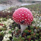 Гриб пластинчатого гриба мухы в мхе северного оленя Стоковые Фотографии RF