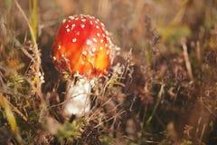 Гриб пластинчатого гриба мухы или мухомора мухы ядовитый Стоковые Фотографии RF