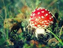 Гриб пластинчатого гриба мухы или мухомора мухы ядовитый Стоковое Фото