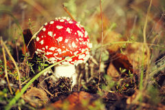 Гриб пластинчатого гриба мухы или мухомора мухы ядовитый Стоковая Фотография RF