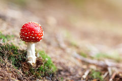 Гриб пластинчатого гриба мухы красный и белый ядовитый в лесе Стоковое Фото